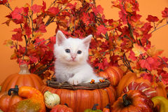 Fluffig vit kattunge i nedgångkorg med höstsidor och pumpor Fotografering för Bildbyråer