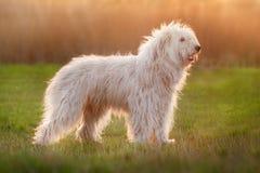 fluffig white för hund arkivfoton
