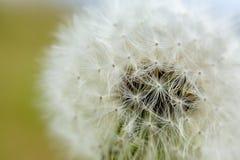 fluffig white för maskrosor Fotonärbild, litet djup av fältet arkivbild