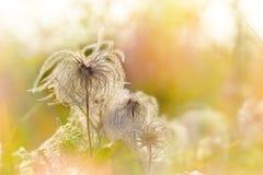 Fluffiga blommor - frö royaltyfri fotografi