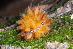 Fluffiga guling-röda larvAcronicta aceris krullade cirkeln Arkivbild