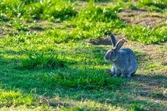 Fluffiga kaniner som betar på gräsmattan arkivfoto