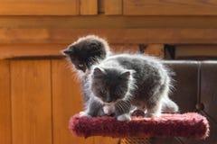 Fluffiga kattungar Royaltyfria Bilder