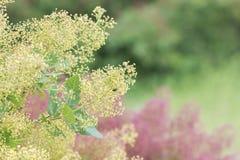 Fluffiga kulöra blomningar för rökträd Arkivbilder
