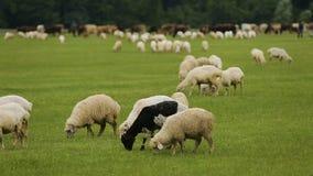 Fluffiga lamm som äter frodigt grönt gräs, lantlig lantbrukaffär, ullproduktion lager videofilmer