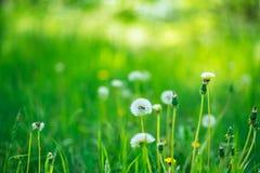 Fluffiga maskrosor bland grönt frodigt gräs arkivbild