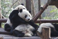Fluffiga Panda Bears i Chengdu, Kina arkivfoton