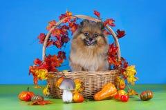 Fluffiga Pomeranian i en korg med grönsaker Royaltyfri Bild