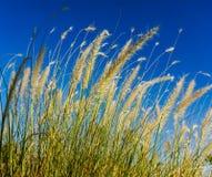 Fluffiga tester av gräs i solen på en bakgrund för blå himmel Royaltyfria Bilder