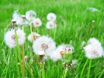 Fluffiga vita fulla och blåste maskrosor som blommar i den gröna naturliga ängen Royaltyfri Foto