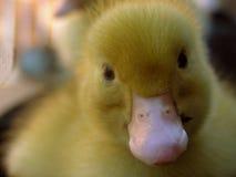 fluffigt övre för tät duckling Arkivbilder