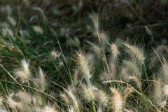 Fluffigt dvärg- gräs för burgundy kaninspringbrunn i en parkera Spanien Royaltyfri Foto