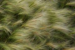 Fluffigt fjädergräs som vinkar från vinden i fälttexturen b royaltyfria foton
