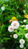 Fluffigt frö för luftspridning Fotografering för Bildbyråer