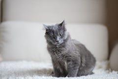 Fluffigt grått kattsammanträde på soffan fotografering för bildbyråer