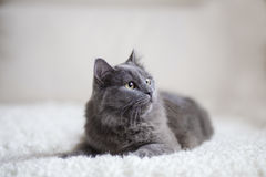 Fluffigt grått kattsammanträde på soffan royaltyfri bild