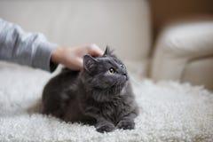 Fluffigt grått kattsammanträde på soffan arkivbild