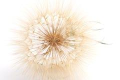 Fluffigt huvud av haverrotblomman Royaltyfria Bilder