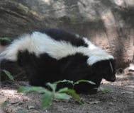 Fluffigt klänga för skunk för vit och för svart randigt royaltyfri bild