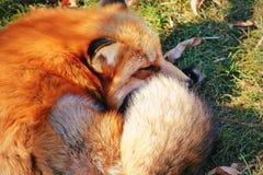 Fluffigt sova för röd räv royaltyfria foton