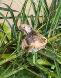 Fluffing пер в гнезде Стоковые Фото