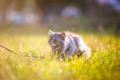 Fluffy adult gray cat in green grass hissing and showing displeasure Royalty Free Stock Photo
