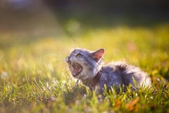 Fluffy adult gray cat in green grass hissing and showing displeasure. Fluffy adult gray cat in green grass with emotion of fright, attack and with open mouth Stock Images