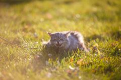 Fluffy adult gray cat in green grass hissing and showing displeasure Stock Images
