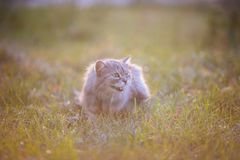 Fluffy adult gray cat in green grass hissing and showing displeasure. Fluffy adult gray cat in green grass with emotion of fright, attack and with open mouth Royalty Free Stock Images