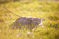 Fluffy adult gray cat in green grass hissing and showing displeasure. Fluffy adult gray cat in green grass with emotion of fright, attack and with open mouth Royalty Free Stock Photos