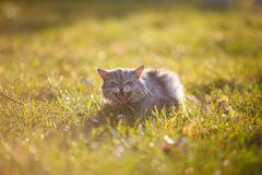 Fluffy adult gray cat in green grass hissing and showing displeasure Stock Image