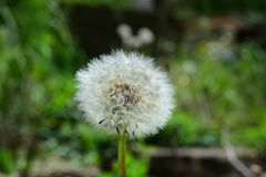 Fluffy and airy dandelion spring after flowering in seeds on a green blurred natural background Royalty Free Stock Images