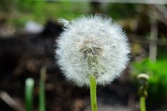 Fluffy and airy dandelion spring after flowering in seeds on a green blurred natural background Royalty Free Stock Photography