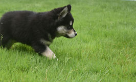Fluffy Alusky Puppy Stalking in Green Grass. Fluffy alusky puppy stalking through green grass Royalty Free Stock Photos