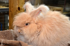Fluffy angora rabbit. In a barn royalty free stock photo