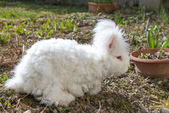 Fluffy angora rabbit eating herbs on grass. Cute fluffy angora bunny rabbit sitting on grass and eating parsley, carrot, selective focus Royalty Free Stock Image