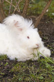 Fluffy angora rabbit eating herbs on grass. Cute fluffy angora bunny rabbit sitting on grass and eating parsley, carrot, selective focus Royalty Free Stock Photo