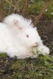 Fluffy angora rabbit eating herbs on grass Royalty Free Stock Photo