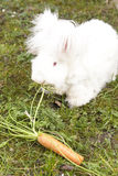 Fluffy angora rabbit eating herbs on grass Stock Images
