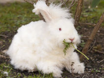 Fluffy angora rabbit eating herbs on grass Royalty Free Stock Photography