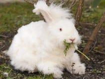 Fluffy angora rabbit eating herbs on grass Royalty Free Stock Photography