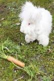 Fluffy angora rabbit eating herbs on grass Stock Photos