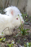 Fluffy angora rabbit eating herbs on grass. Cute fluffy angora bunny rabbit sitting on grass and eating snowdrop flowers, selective focus Royalty Free Stock Image