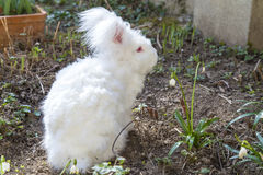 Fluffy angora rabbit eating herbs on grass. Cute fluffy angora bunny rabbit sitting on grass and eating snowdrop flowers, selective focus Stock Photo
