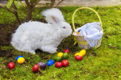 Fluffy angora rabbit eating herbs on grass Royalty Free Stock Images