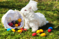 Fluffy angora rabbit eating herbs on grass. Cute white fluffy angora bunny rabbit sitting on grass, straw with basket of colorful easter eggs, selective focus Stock Photo