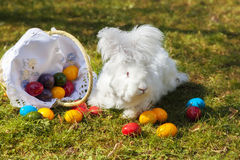 Fluffy angora rabbit eating herbs on grass. Cute white fluffy angora bunny rabbit sitting on grass, straw with basket of colorful easter eggs, selective focus stock photography