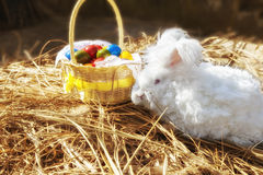 Fluffy angora rabbit eating herbs on grass. Cute white fluffy angora bunny rabbit sitting on grass, straw with basket of colorful easter eggs, selective focus royalty free stock photos