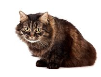 Fluffy angry cat Stock Photography