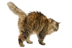 Fluffy angry cat isolated on white background. Side view stock images